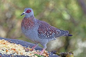 Triangular Spotted Dove