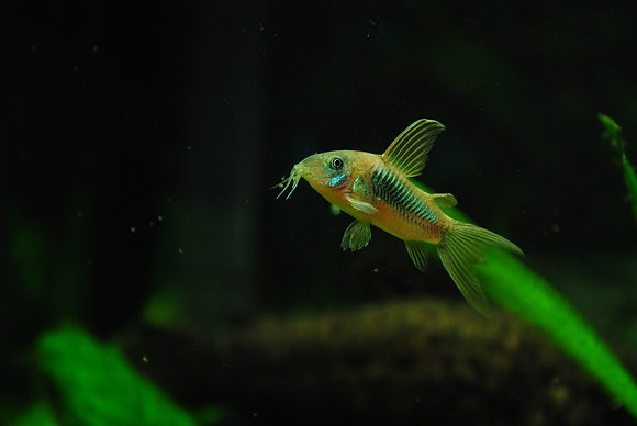 Green Cory Catfish