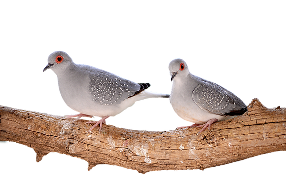 Blue White Rump Diamond Dove