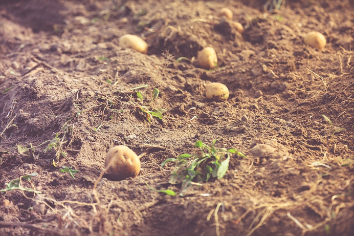 potato-1721019_960_720.jpg