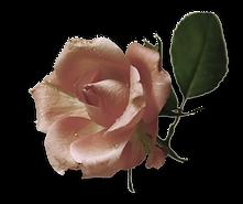 rose-roos-png.png