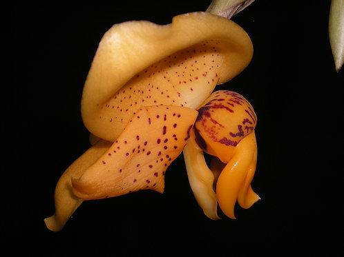 Stanhopea connata