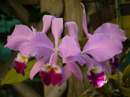 Cattleya warneri x Laelia purpurata var. sanguinea  - FLASK -