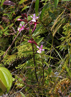Epidendrum stolidium