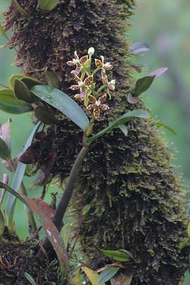 Encyclia vespa