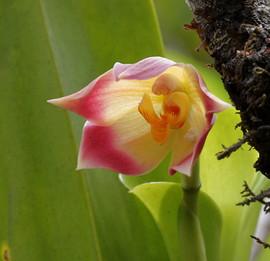 Maxillaria ampliflora