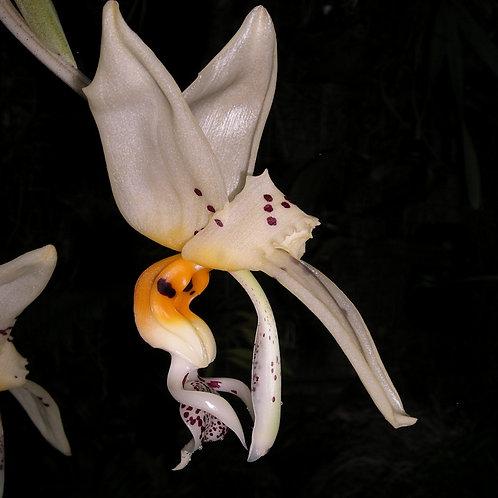 Stanhopea embreei 'Flori'