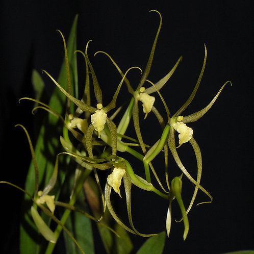 Brassia pozoi (syn. Ada pozoi)