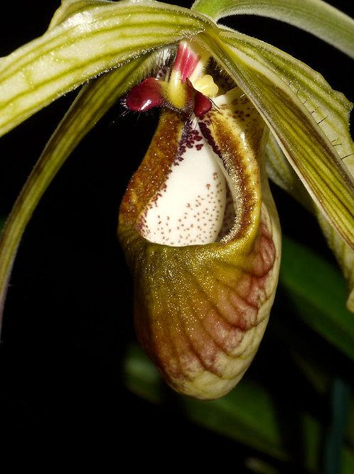 Phragmipedium humboldtii