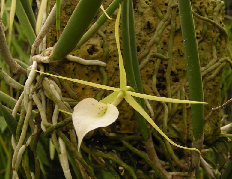 Brassavola nodosa