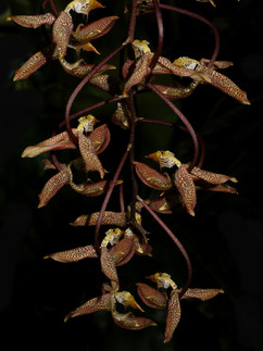 Gongora Galequindon
