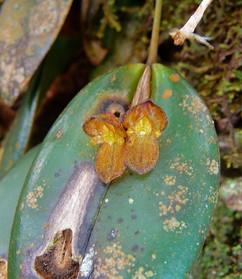 Pleurothaliis excavata