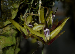 Cirrhaea dependens