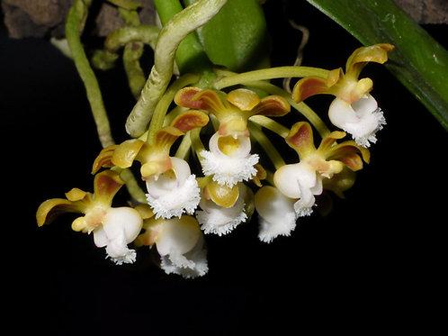 Gastrochilus rutilans