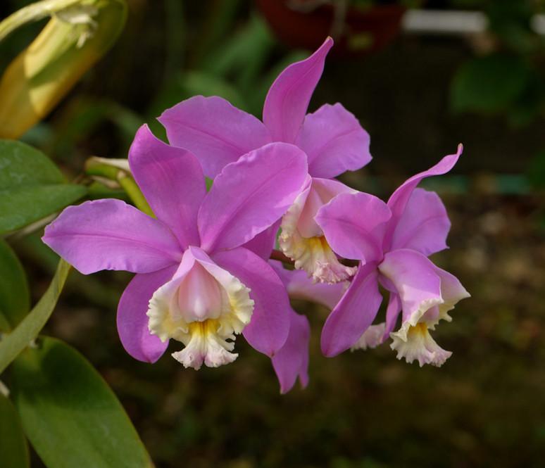 Cattleya harrissoniae