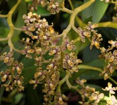 Epidendrum wercklei
