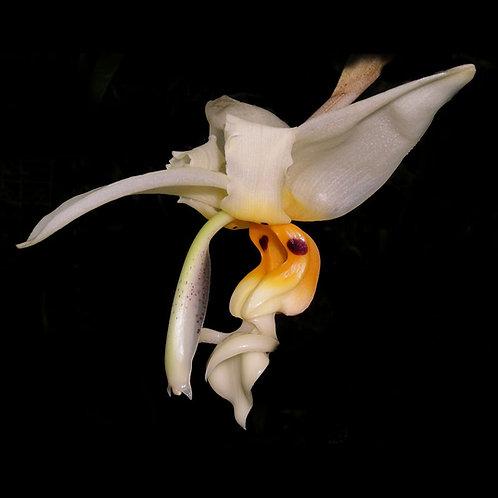 Stanhopea embreei -cultivar n°1-