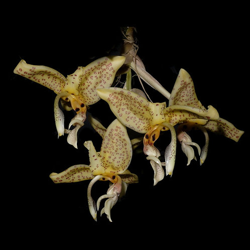 Stanhopea oculata -cultivar n°1-
