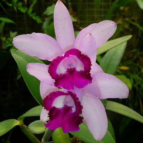 Cattleya intermedia var. orlata
