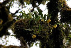 Maxillaria pseudoneglecta