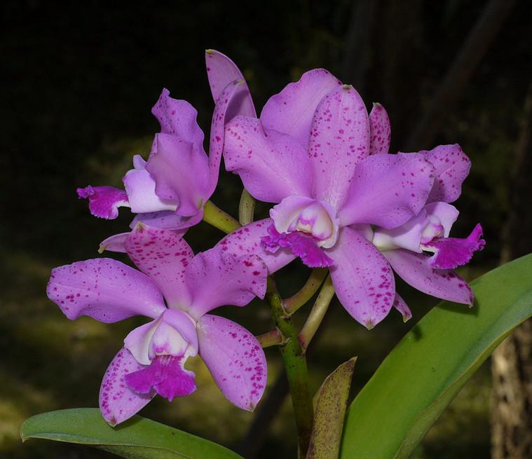 Cattleya Brabantiae