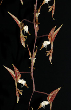 Gongora colombiana