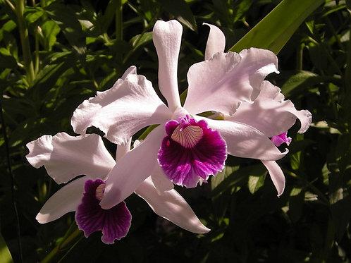 Laelia purpurata var semi-alba x L. purpurata var. sanguinea - FLASK -
