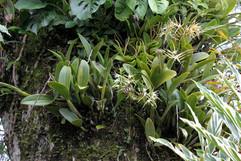 Epidendrum cilioare