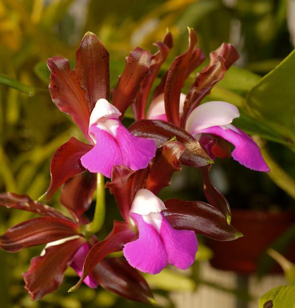 Cattleya bicolor var. grossii