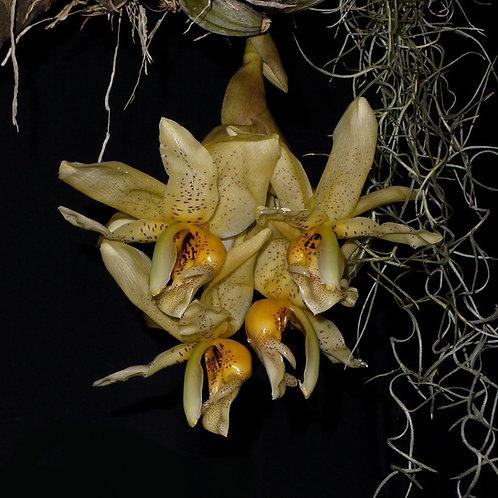 Stanhopea x fowlieana