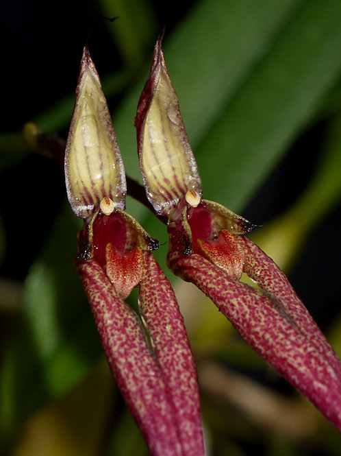 Bulbophyllum biflorum