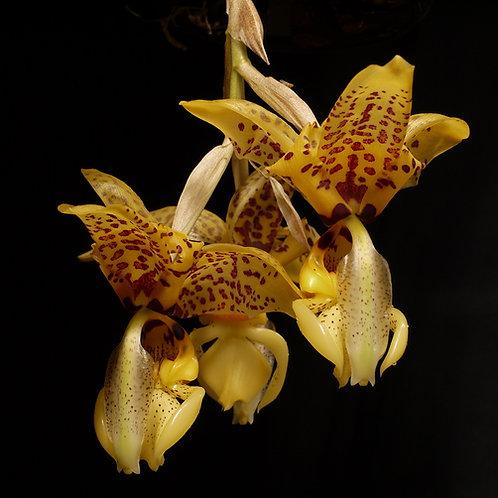 Stanhopea Assidensis (S.tigrina x S.wardii)