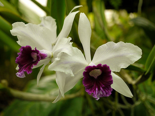Laelia purpurata 'semi-alba'