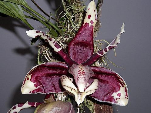 Stanhopea tigrina var. nigroviolacea 'Apulco'
