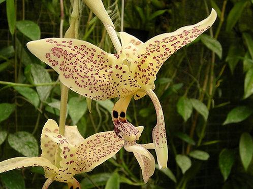 Stanhopea oculata - cultivar n°2 -