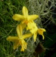Spathoglottis affinis.jpg