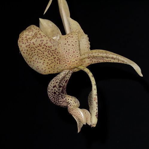 Stanhopea platyceras