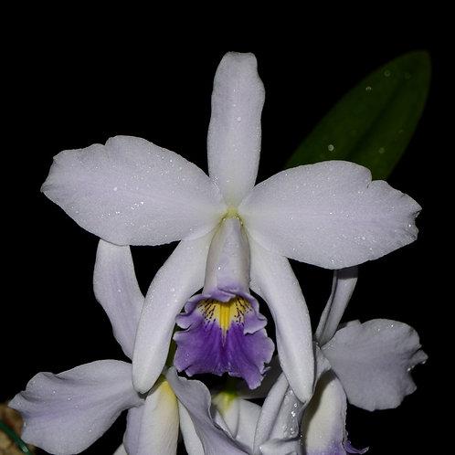 LC. Amoena var. coerulea