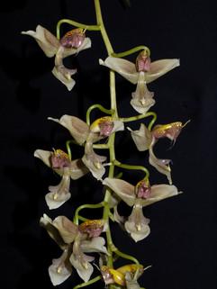 Gongora portentosa