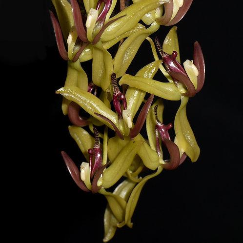 Cirrhaea nasuta