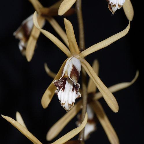 Coelogyne dayana (syn. pulverula)