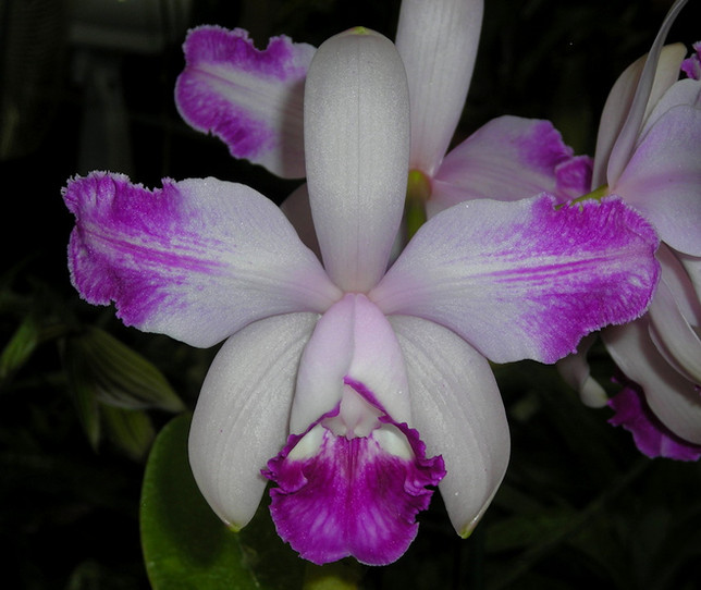 Cattleya intermedia var. aquinnii x orlata