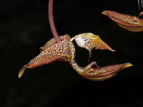 Gongora Galequindon (G. galeata x G. quinquenervis)