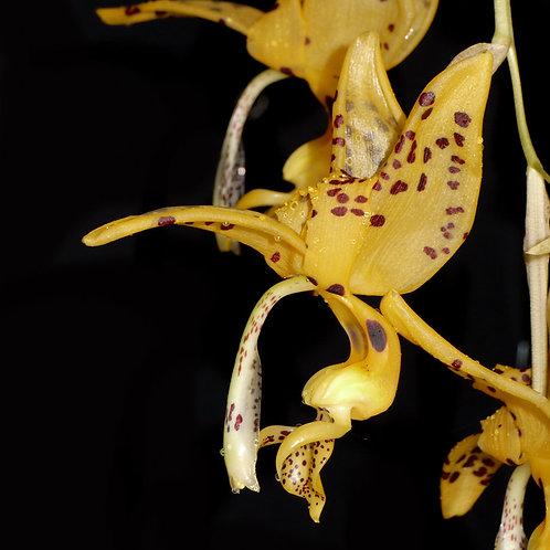 "Stanhopea jenischiana ""ocellée"""