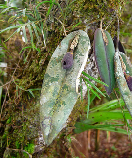 Dresslerela pertusa