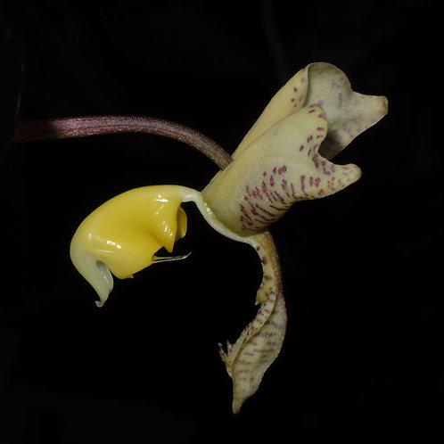 Gongora truncata