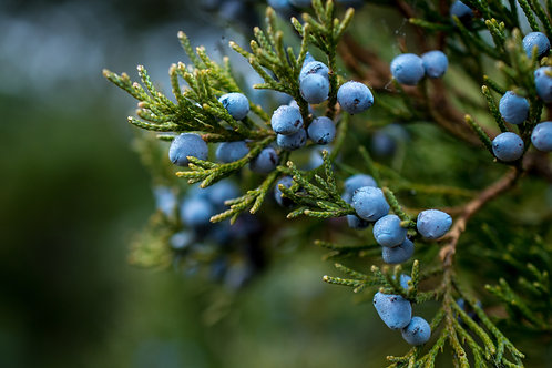Juniper Berry - India