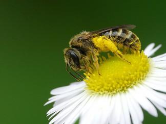Bee Pollen, The ORIGINAL Super Food