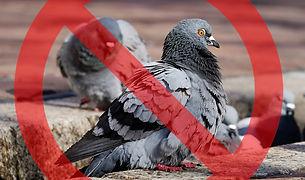pigeons-3268990_1920.jpg
