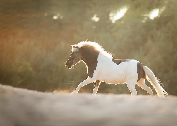 Shetty, Shetlandpony, Pferdemädchen, Fotoshooting mit Pferd, Pferdefoto, Pferdefotograf, Pferdefotografie, Rheinland-Pfalz, Bad Dürkheim, Pferdeportrait
